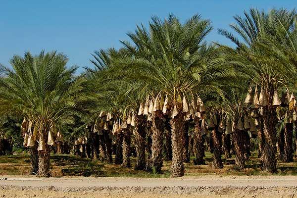 Финиковые пальмы в Ливии
