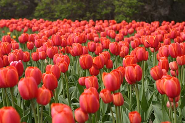 Легенда о тюльпанах