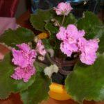 Комнатные растения, приносящие семейное счастье