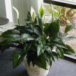 Растения для темных комнат