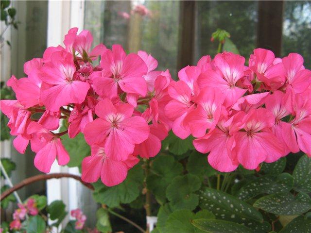 Как улучшить цветение герани