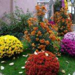 Хризантемы в горшках – красота на подоконнике и в саду